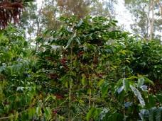 plantation de café, chez Alain et Myriam