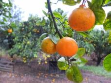 Les oranges, pour le matin, à cueillir sur l'arbre